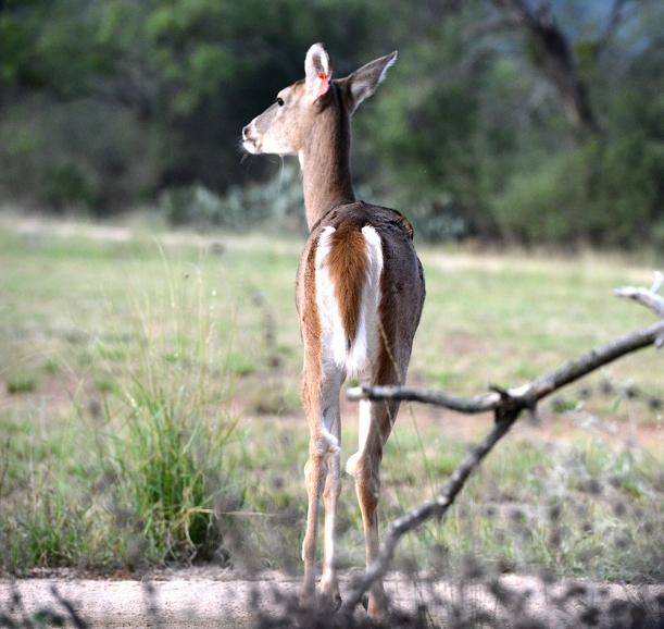 deer 4648